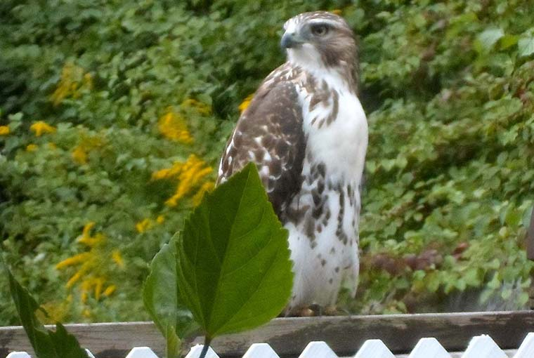 Hawk on the Fence